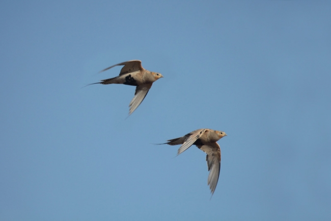 Pallas Sandgrouse