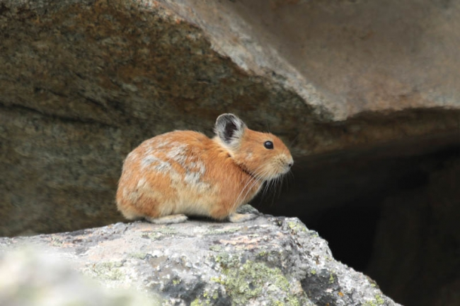 Red Pika