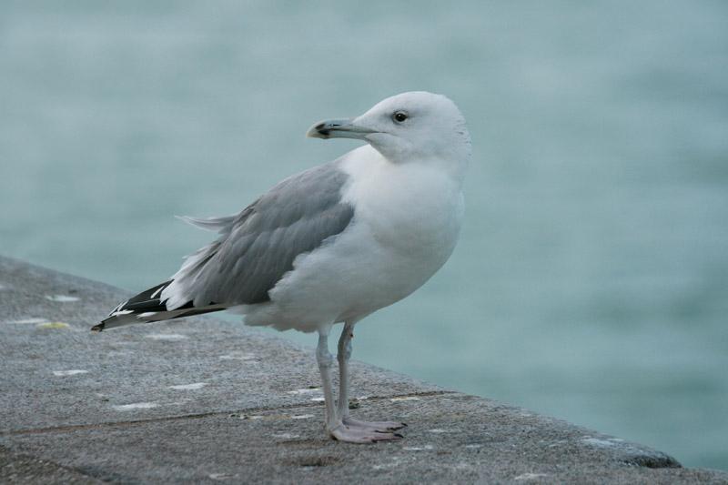 Baltic_Gull,_Calais_1.jpg
