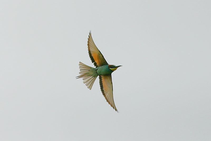 Bee-eater_poland_1.jpg
