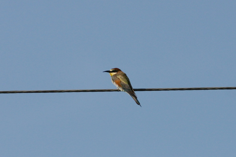 Bee-eater_sakai.jpg