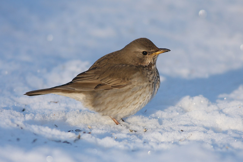 Black-throated_Thrush_sweden_4.jpg