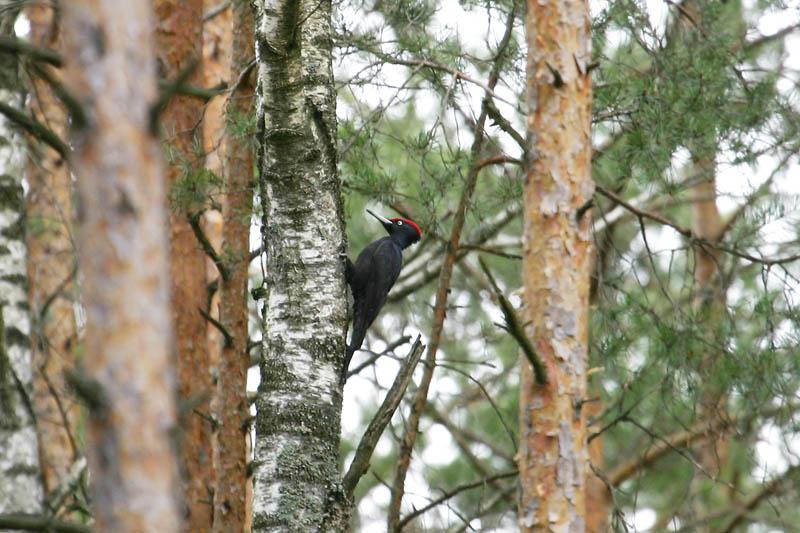 Black_Woodpecker,_voke.jpg