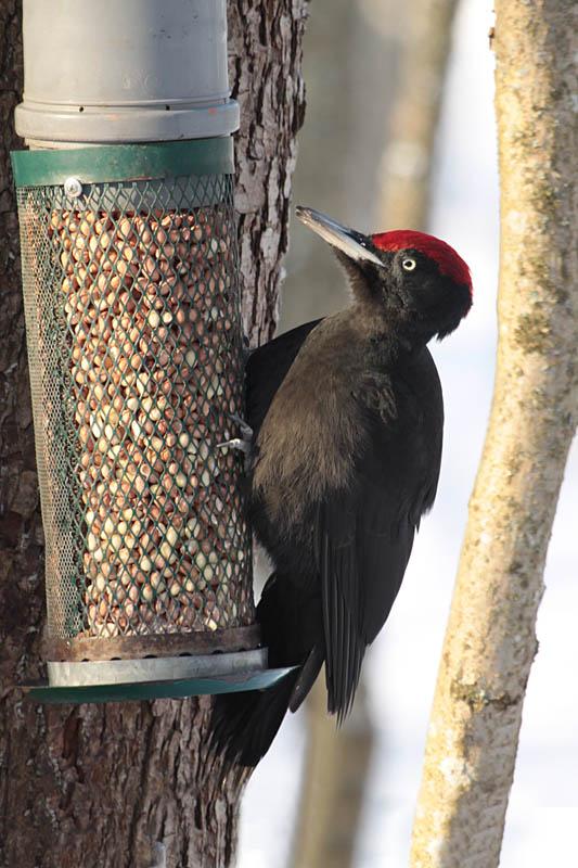 Black_Woodpecker_feed_lab_3.jpg