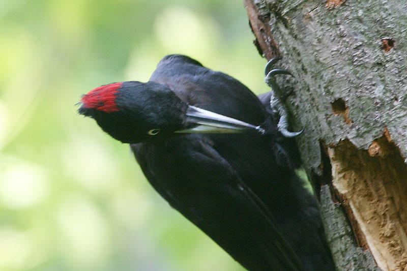 Black_Woodpecker_window.jpg