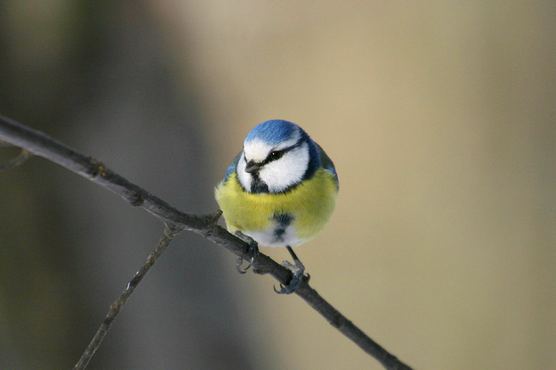 Blue_Tit,_labanoras_2.jpg