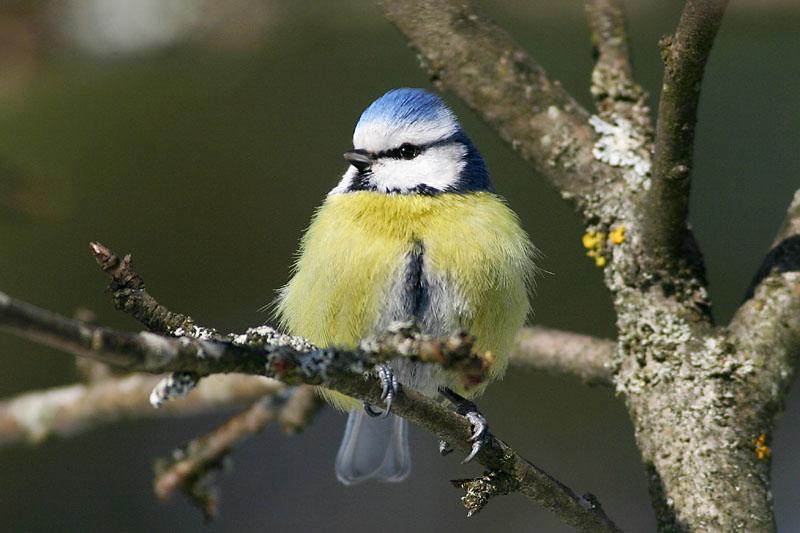 Blue_Tit_garden.jpg