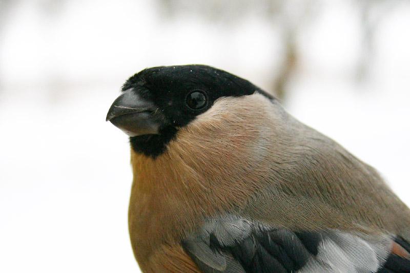 Bullfinch,_garden_f.jpg