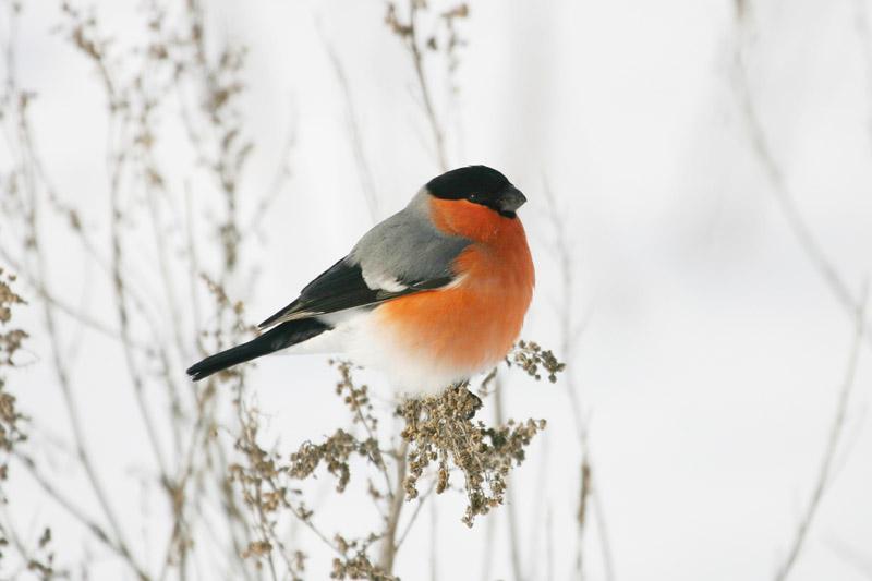 Bullfinch,_voke.jpg