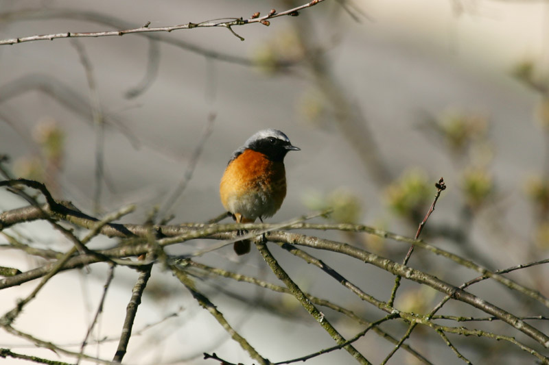 Common_Redstart,_garden.jpg