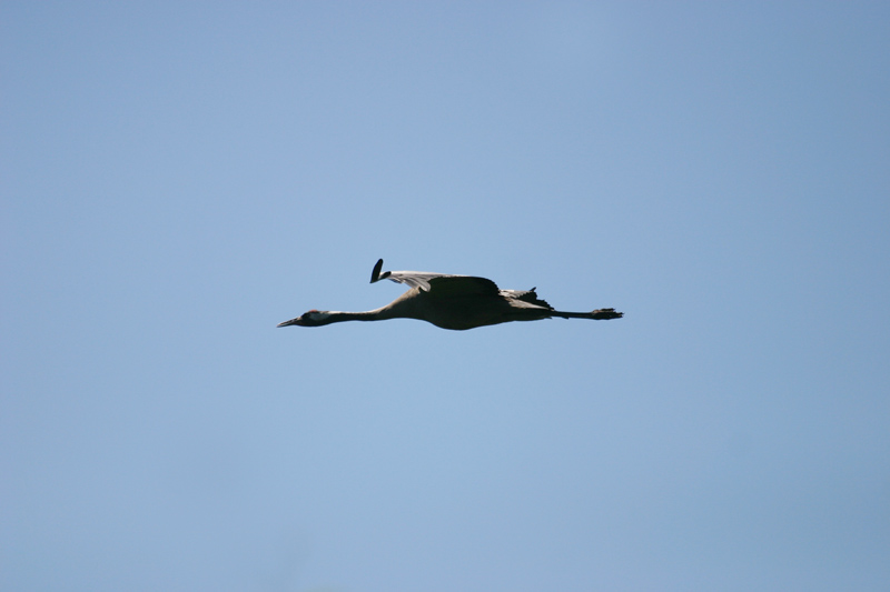 Crane,_Labanoras.jpg