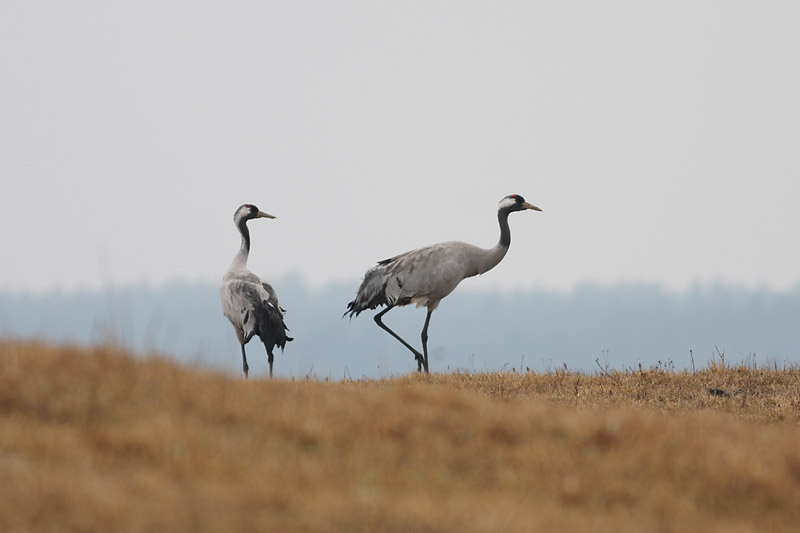 Cranes_labanoras.jpg