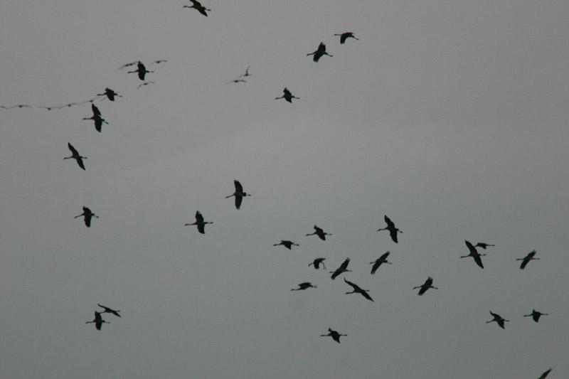 Cranes_thumb_1.jpg