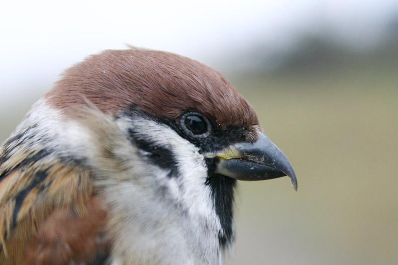 Darwinian_Sparrow.jpg