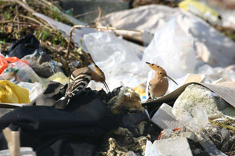Dump-Hoopoes.jpg