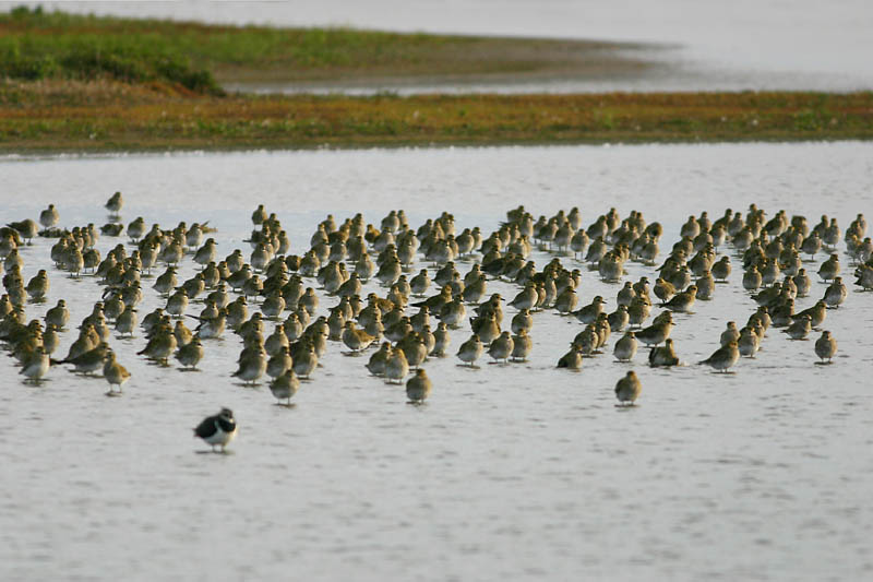 Golden_Plover_norfolk_3.jpg