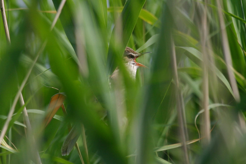 Great_Reed_Warbler,_voke.jpg