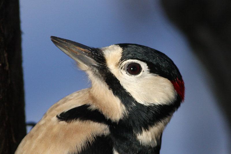 Great_Spotted_Woodpecker_lab.jpg