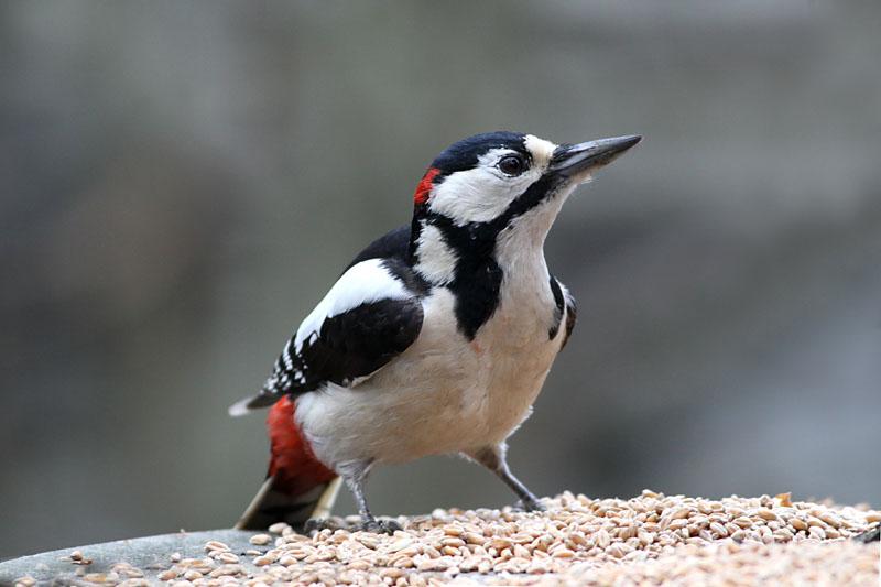 Great_Spotted_Woodpecker_lab_1.jpg
