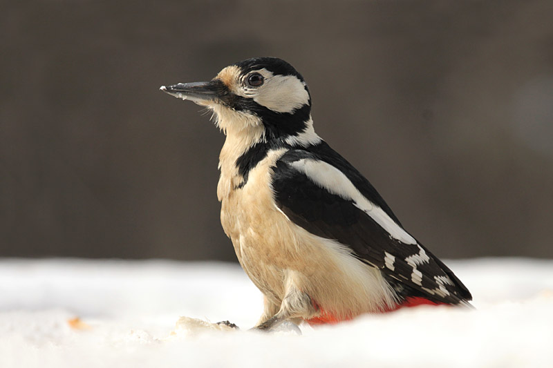 Great_Spotted_Woodpecker_lab_7.jpg