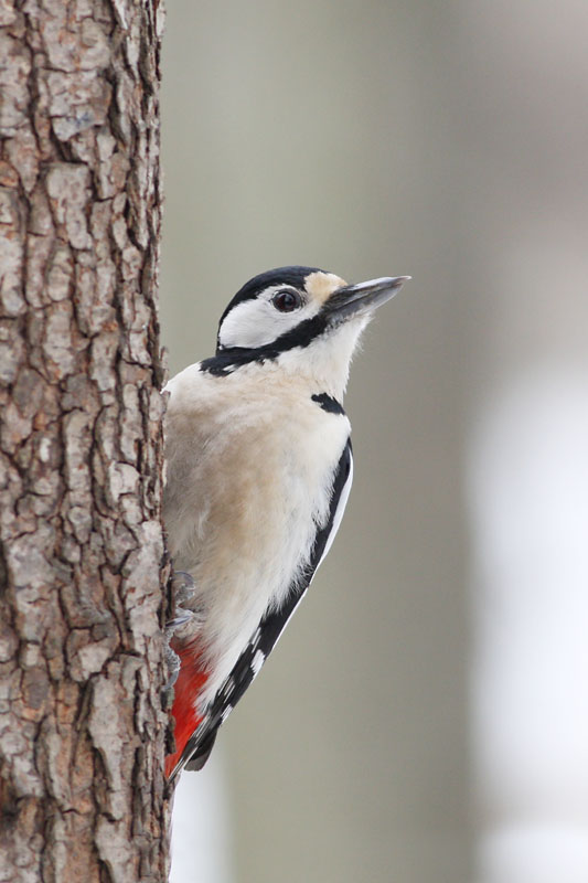 Great_Spotted_Woodpecker_labanoras0000.jpg