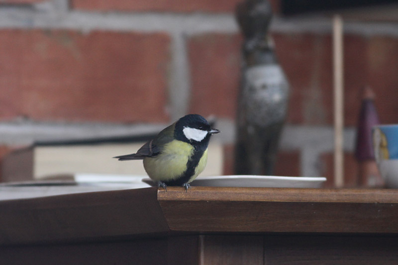 Great_Tit_Visitor_garden_3.jpg