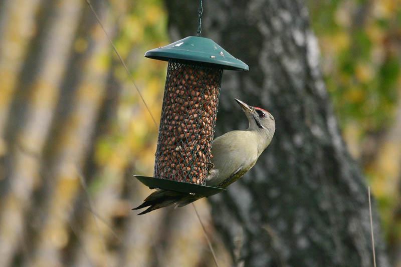 Grey-headed_Woodpecker_1thumb.jpg