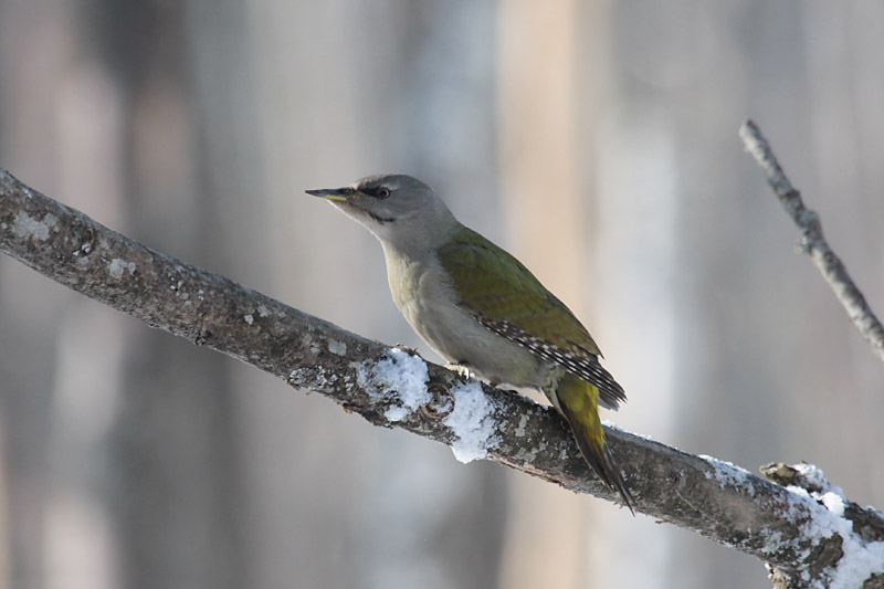 Grey-headed_Woodpecker_lab_5.jpg