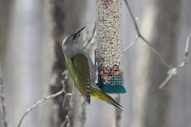 Grey-headed_Woodpecker_lab_6.jpg