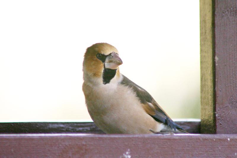 Hawfinch,_labanoras_2.jpg