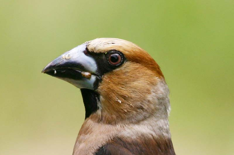 Hawfinch_head_thumb.jpg