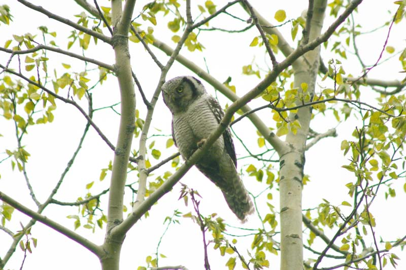 Hawk Owl - adult thumb 3.jpg