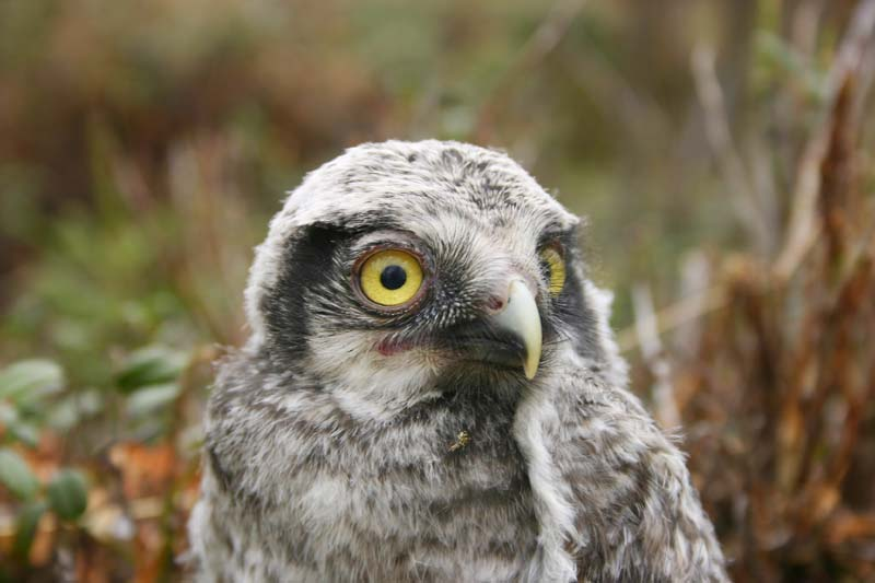 Hawk_Owl_-_chick_thumb_1.jpg