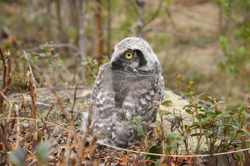 Hawk_Owl_-_chick_thumb_2.jpg
