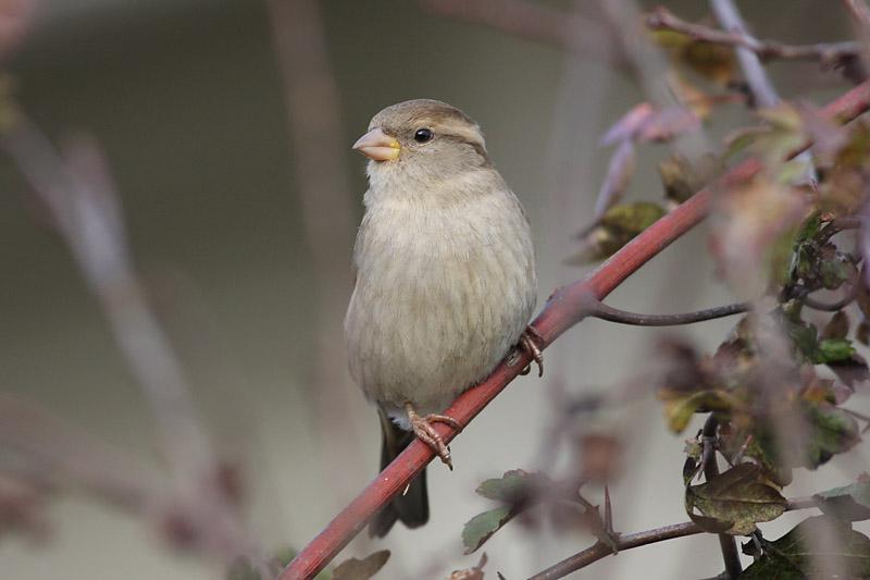 House_Sparrow_vilnius.jpg