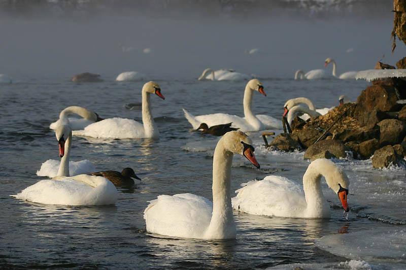 Kaunas_hydro-electric_swans_1.jpg