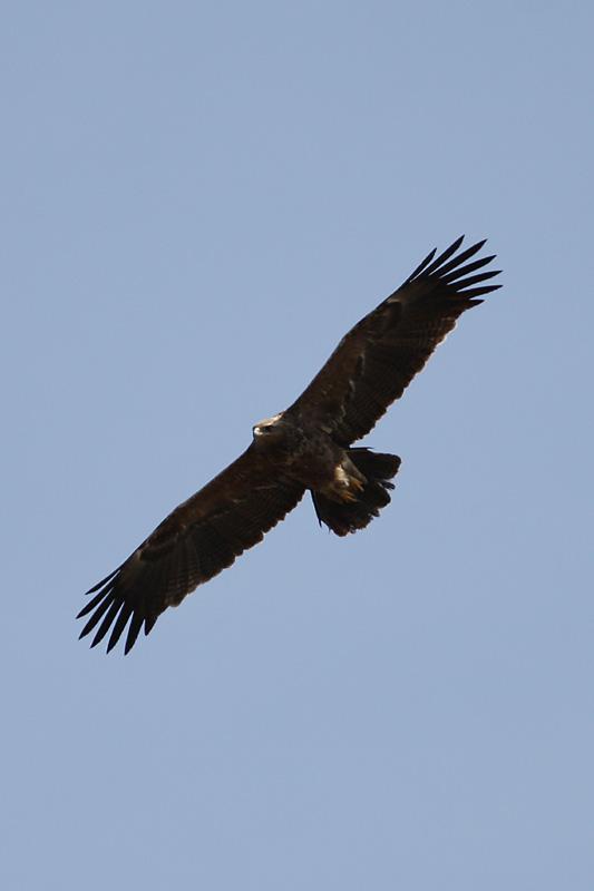Lesser_Spotted_Eagle_lab.jpg