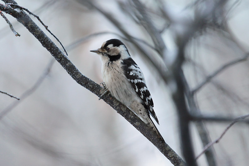 Lesser_Spotted_Woodpecker_lab_1.jpg