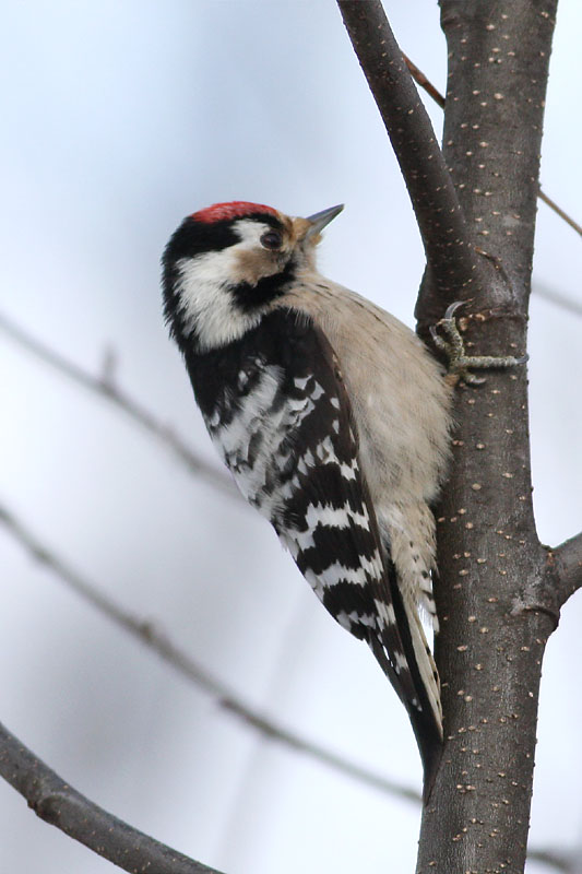 Lesser_Spotted_Woodpecker_lt_1.jpg