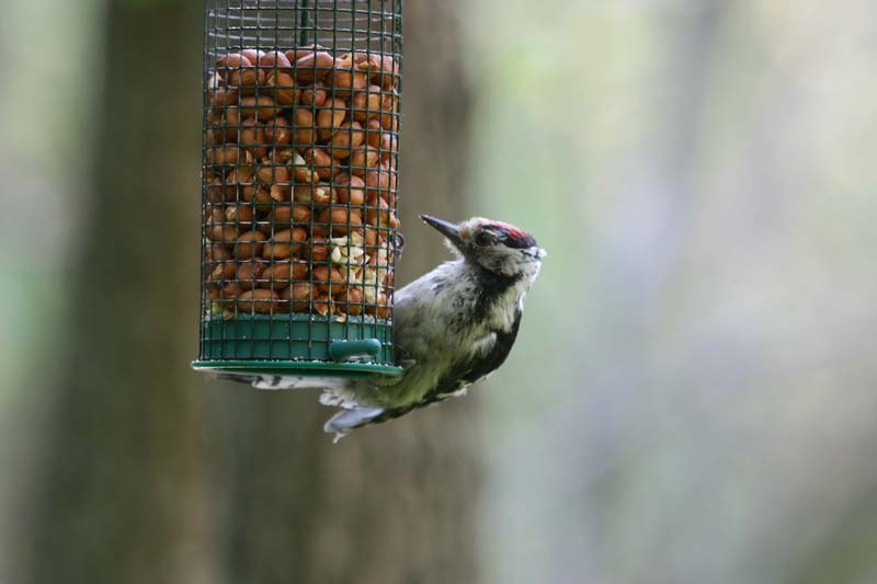 Lesser_Spotted_Woodpecker_thumb_1.jpg