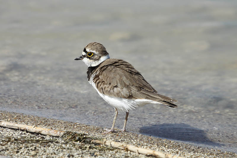 Little_Ringed_Plover_ks_2.jpg