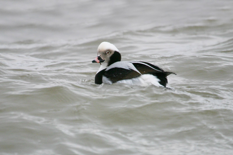 Long-tailed_Duck,_palanga.jpg