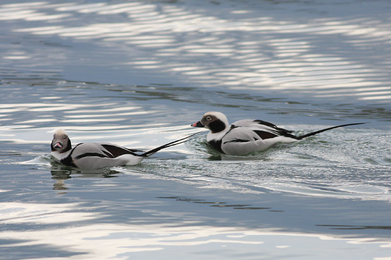 Long-tailed_Ducks,_estonia.jpg
