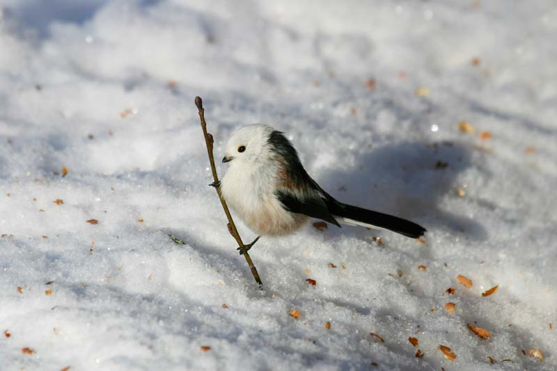 Long-tailed_Tit_2.jpg