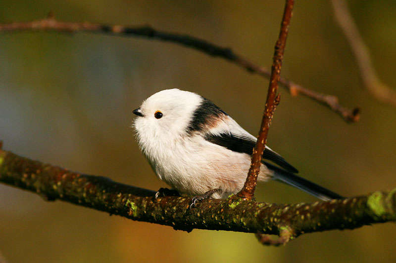Long-tailed_Tit_Ventes_1.jpg