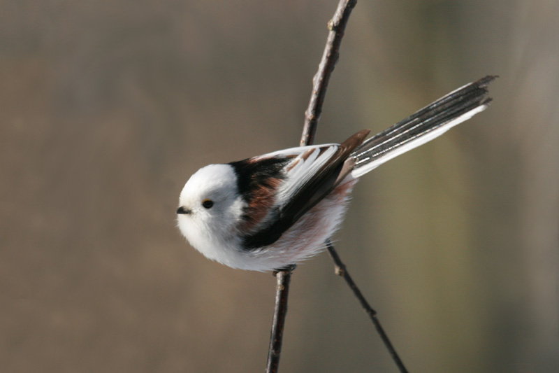 Long-tailed_Tit_labanoras.jpg