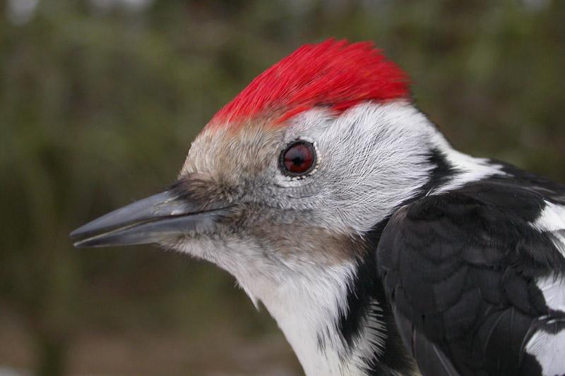 Middle_Spot_Woodpecker.jpg