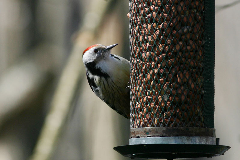 Middle_Spotted_Woodpecker_lab_2.jpg
