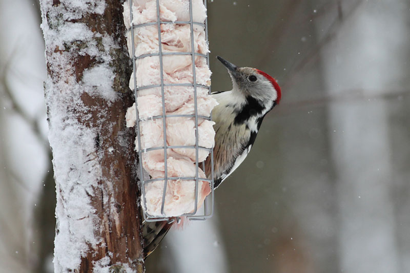 Middle_Spotted_Woodpecker_lab_6.jpg
