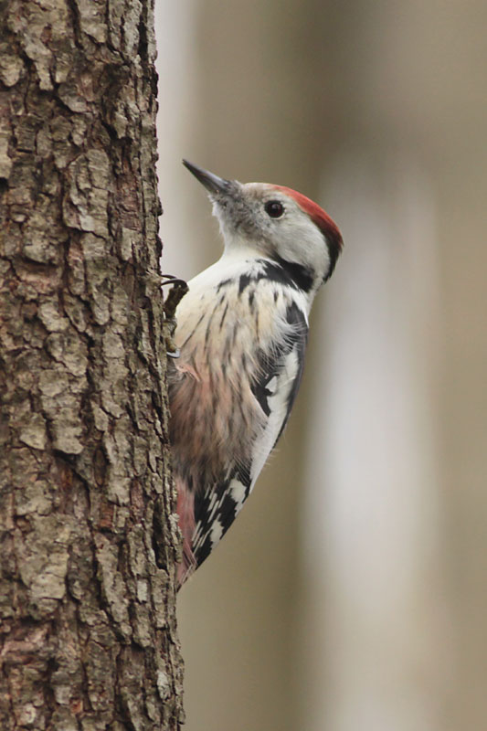 Middle_Spotted_Woodpecker_lab_7.jpg